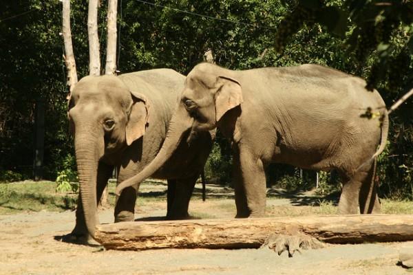 Elephants share a secret